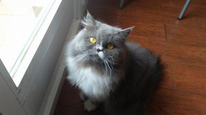 Vendo gatita persa