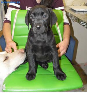Venta Cachorros Labrador Retriever (Femias)