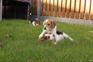 camada de Beagle preciosa tricolor !