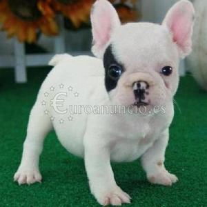 camada de bulldog frances en adopcion