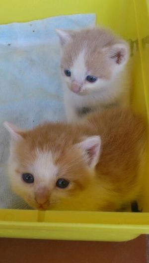 precioso gatito bebé blanco y naranja