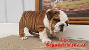 Espectaculares cachorros de Bulldog Ingles