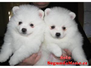 Hermosos cachorros Pomerania