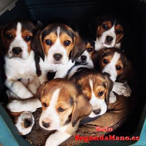 Preciosos cachorros de beagle