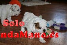 cachorros bulldog frances y ingles