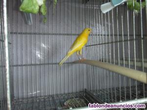Canarios llarguet