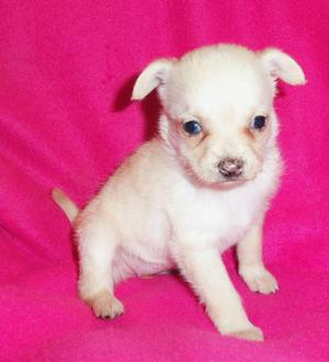 12 semanas de edad cachorros chihuahua. - Alicante
