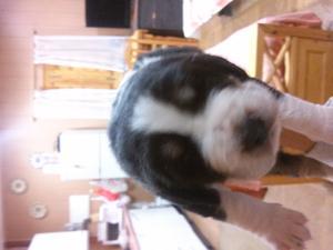 2 cachorros de mastin - Cuenca