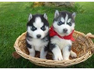 AKC Registerd siberian husky cachorros listos para una nueva