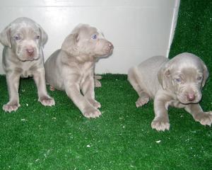 Bracos de Weimar expectaculares cachorros. - Madrid