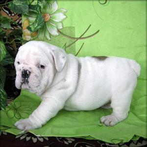 Bulldog Inglés cachorros disponibles para un hogar con amor