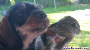 Cachorritos teckel pelo duro