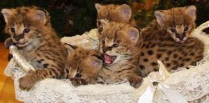 Cachorros Serval y de sabanas disponibles para los nuevos