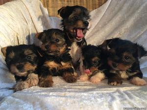 Cachorros Yorkies Terrier para la adopción - A Coruña