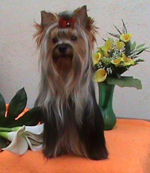 Cachorros Yorkshire Terrier Exc Pedigri - Castellón