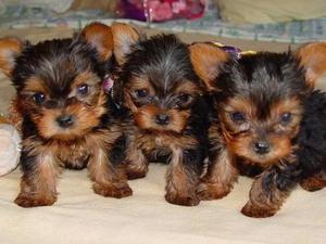 Cachorros Yorkshire Terrier para la adopción. - Barcelona