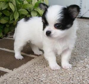 Cachorros chihuahua - Álava