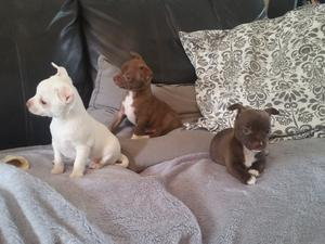 Chihuahua cachorros adorables para la adopción - Madrid