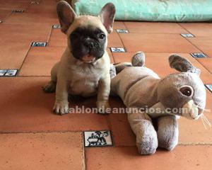 De loman preciosos cachorros de bulldog francés criados en