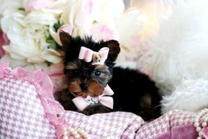 Encantadores Teacup Yorkie cachorros - Barcelona