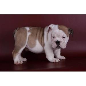 Encantadores cachorros macho y la hembra Bulldog Inglés - A
