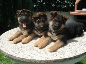 Excelentes cachorros de pastor Aleman - A Coruña