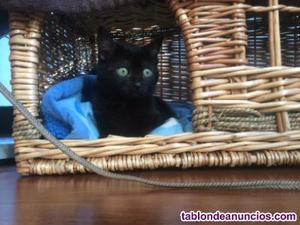 Gatito negro en adopcion