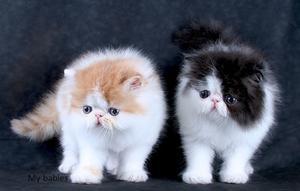 Gatitos Persas Disponibles (Dos Hembras y un Macho) -