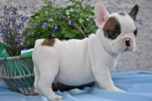 Hermosos cachorros bulldog francés! - Almería