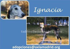 Ignacia. Galga en adopción
