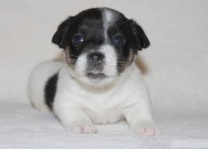 Jack Russell cachorro en venta - Barcelona