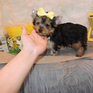 Lindo Cachorros Yorkshire Terrier (Machos y hembras) -