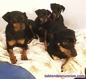 Pincher cachorro hembra