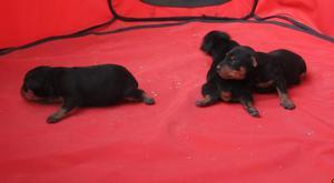 Pinscher miniatura cachorros nacionales con pedigri. -