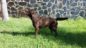 Preciosa camada de Labrador retriever - Málaga