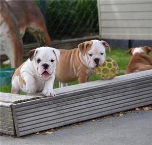 Preciosas Camadas Cachorros Bulldog Inglés. - Madrid