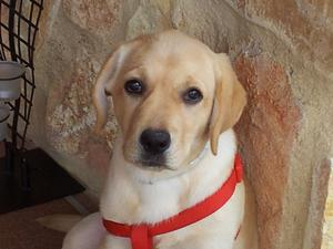 Precioso cachorro de labrador - Madrid