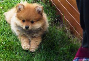 Precioso cachorro de pomerania de 2 meses con pedigrí - A