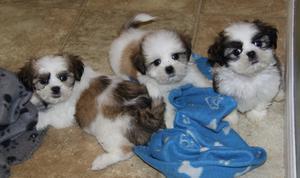 Preciosos cachorritos de shih-tzu - Alicante