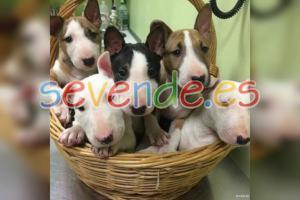 Preciosos cachorros de Bull Terrier