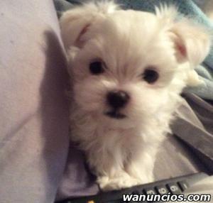 Preciosos cachorros maltés blancos - Madrid