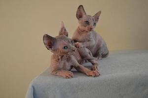 Preciosos gatitos de raza SPHYNX - Madrid