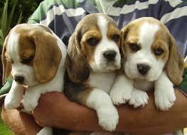Presente macho y hembra cachorros beagle - Barcelona