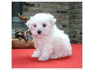 REGALO Camada Bichon Maltes Cachorros Para Su La Adopcion -
