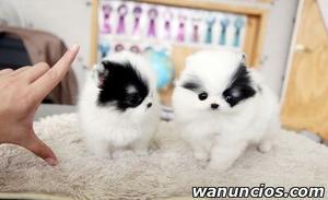 Regalo Cachorros Pomeranian. - Valencia