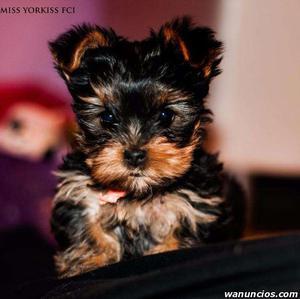 Regalo Cachorros Yorkshire Terrier machos y hembras -