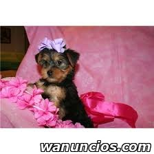 Regalo MINI Cachorros Yorkshire Terrier - Alicante