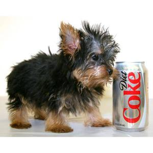 Regalo Macho y Hembra Cachorros Yorkshire Terrier Mini -