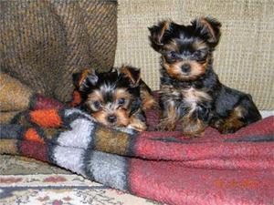 Regalo Yorkshire Terrier cachorros - Málaga