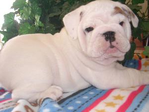 Regalo cachorro de Bulldog Ingels - Barcelona